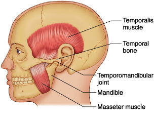 Temporomandibular Muscle Bone Joint Diagram