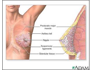 Woman Breast Diagram